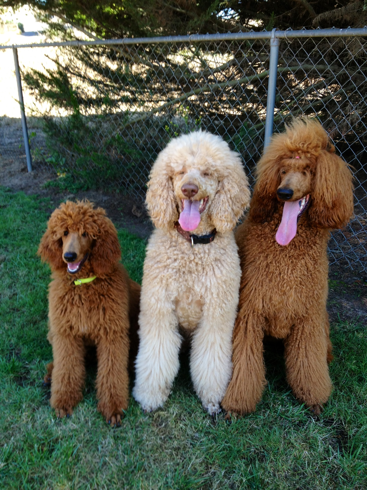 Central Coast Standard Poodles Bred For Health Temperment